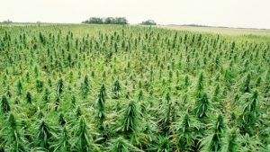 Legalising-hemp-for-food-would-realise-big-benefits-for-Australia_strict_xxl